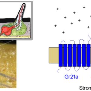 (Bitte klicken) Drosophila-Kopf, vergrößert ist die Oberfläche einer Antenne.  Das Schema zeigt den Geruchsrezeptor (Heterodimer Gr21a/Gr63a).